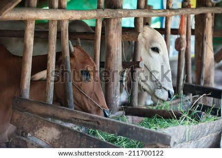 Thai cows feeding hay in the farm - stock photo