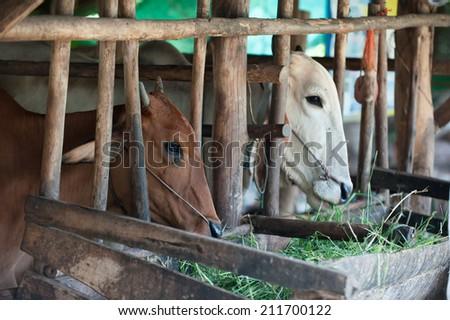 Thai cows feeding hay in the farm - stock photo