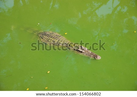Thai crocodile in water - stock photo