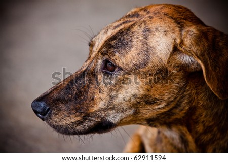 Thai dog. - stock photo