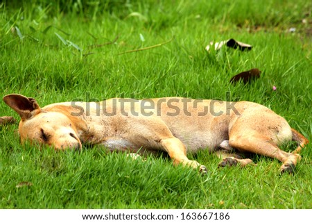 Thai dog sleep in grass yard  - stock photo