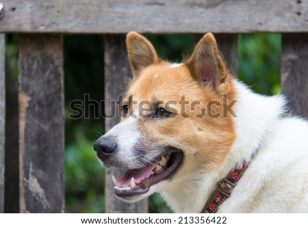 Shiba Inu Shepherd Mix Stock Photo 84373924 Shutterstock