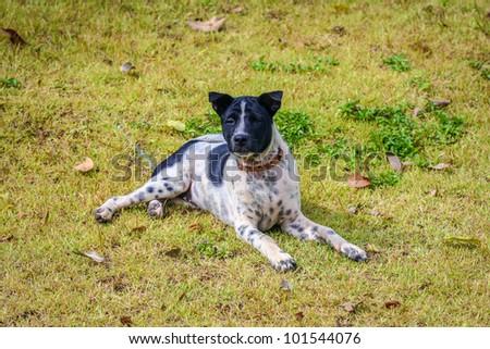 Thai dogs black and white polka dots - stock photo