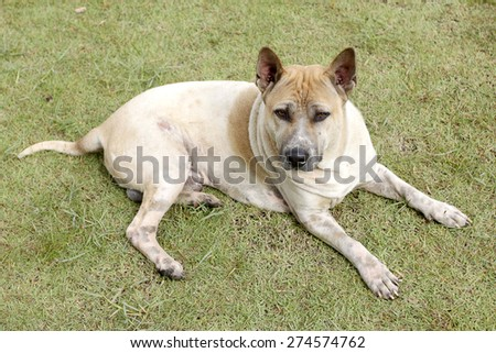 Thai domestic dog on green grass in the garden. - stock photo