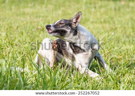 Thai domestic dog scratching its face on green grass in the garden - stock photo