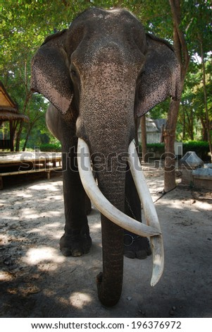 Thai elephant in Chang Mai, Thailand - stock photo