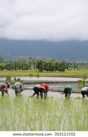 Thai farmer in rice field of agricultural region
