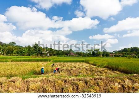 Thai farmer on harvest season. - stock photo