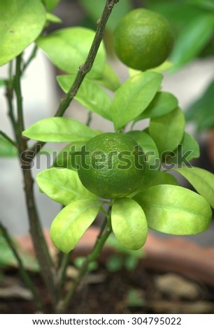 Thai green lemon Tree