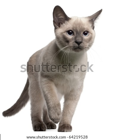 Thai kitten, 4 months old, walking in front of white background - stock photo