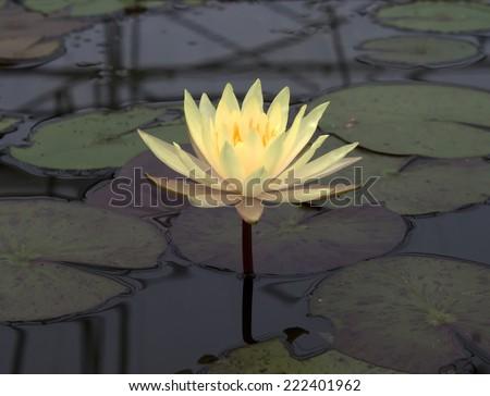 Thai lotus , at lotus museum , Bangkok , Thailand - stock photo
