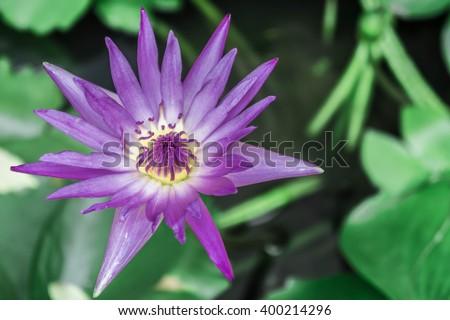 Thai lotus flower or DAUBEN (Scientific name : Nymphaea spp.(Hybrid of Nymphaea micrantha and Nymphaea caerulea)) - stock photo