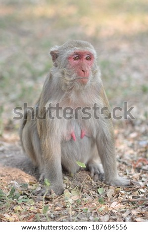 Thai Monkey on the floor - stock photo