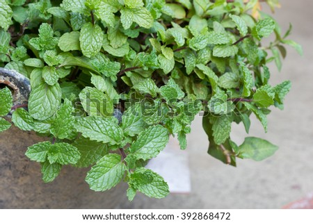 Thai peppermint. thai homegrown vegetable