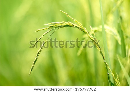 Thai rice exporters, is one of the world - stock photo