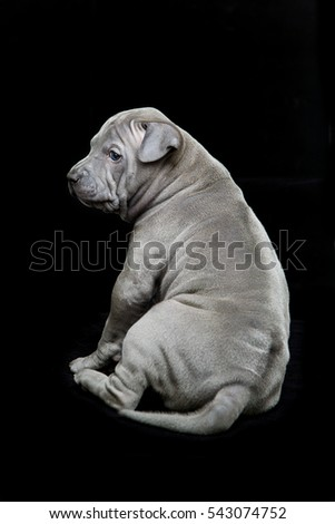 Thai ridgeback puppy on black background
