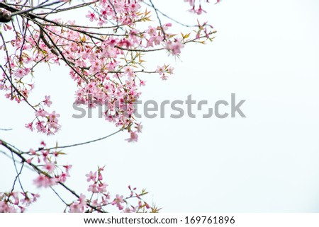 Thai Sakura pink flower in ChiangRai, Thailand - stock photo