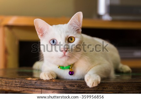 Thai white cat with two color of eyes - stock photo