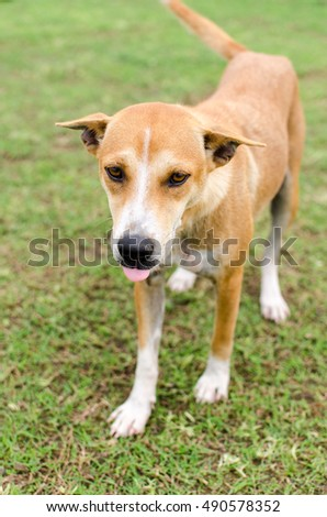 Thailand brown dog playing on grass.