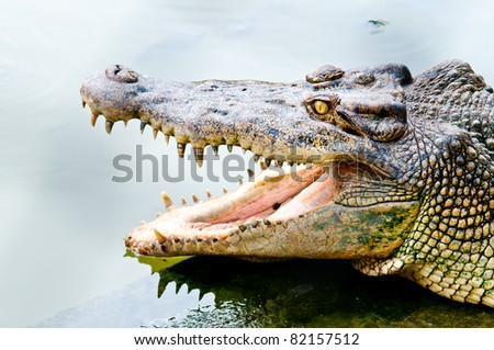 Thailand Crocodile in Zoo. Large and big area in Thailand Zoo - stock photo