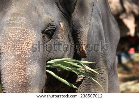 Thailand elephant's eye, legs, feet, meaning the elephant tourism. - stock photo