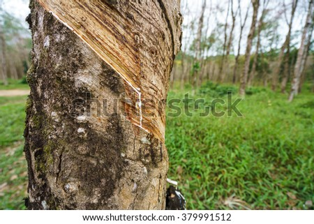 Thailand. Image of rubber tree, close-up