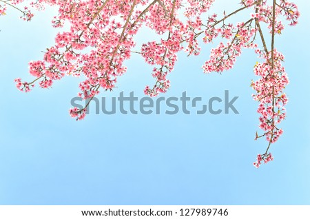 thailand Sakura pink flower in ChiangMai, Thailand - stock photo