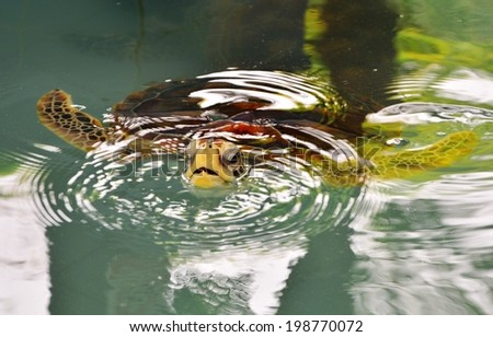 Thailand Sea Turtle in the farm before releasing to the sea - stock photo