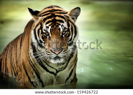 thailand tiger  - stock photo