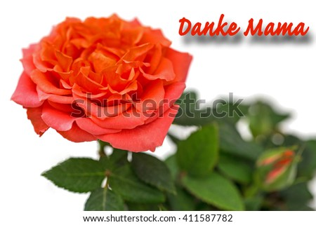 Thank you mom in German - Coral rose and bud on white background, close up - stock photo