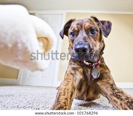 That rawhide bone has the puppy's full attention - stock photo
