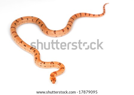 Thayeri Kingsnake (Lampropeltis mexicana thayeri) on white background.