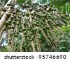 The açaí palm (Euterpe oleracea) is a species of palm tree in the genus Euterpe cultivated for their fruit and superior hearts of palm. Amazonia - Brazil - stock photo