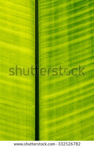 The Abstract close up of banana leaf background - stock photo