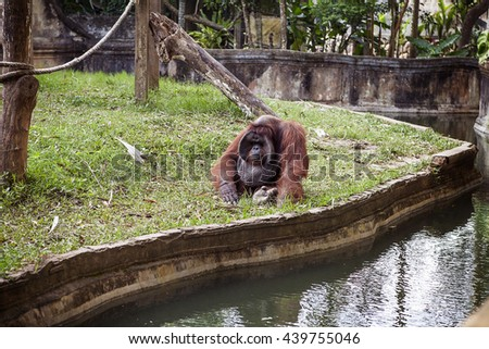 The adult male of the Dominant male orangutan with the signature developed cheek pads that arise ( testosterone surge). Zoo in Bali - stock photo