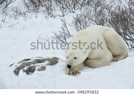 The adult male polar bear (Ursus maritimus)  have a rest, lying on snow. - stock photo
