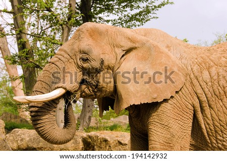 the africa elephant - stock photo