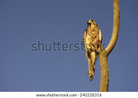 The African bird of prey sits on a branch of a tree and observes/Bird of prey on a branch - stock photo