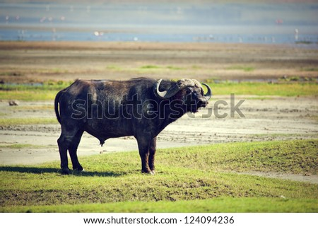 The African buffalo on savannah. Ngorongoro crater in Tanzania, Africa