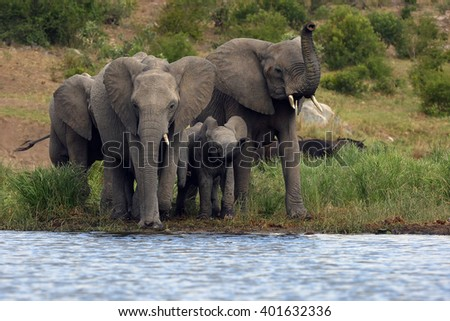 The African bush elephant (Loxodonta africana) group of elephants drinking from a small lagoon - stock photo