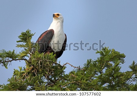 The African Fish Eagle (Haliaeetus vocifer) perches in an acacia tree near Kazinga Channel in Uganda, Africa - stock photo
