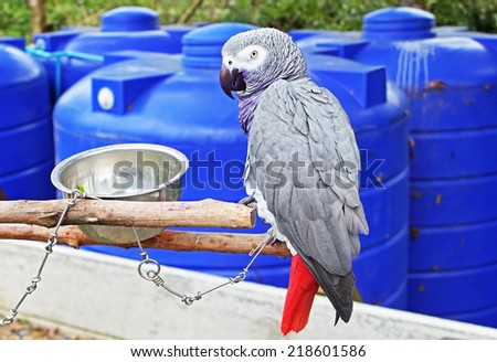 The African Grey Parrot (Psittacus erithacus), also known as the Grey Parrot, is a parrot found in the primary and secondary rainforest of West and Central Africa - stock photo