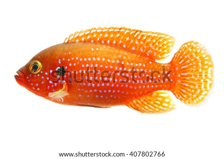 The African jewelfish (Hemichromis bimaculatus) isolated on white background