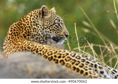 The African leopard (Panthera pardus), young female lying on termite