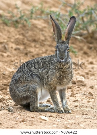 The African Scrub Hare is a common Nocturnal Animal - stock photo
