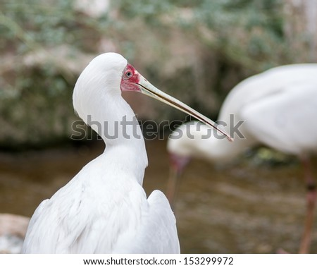 The African Spoonbill, Platalea alba, is a wading bird of the family Threskiornithidae, found widespread across Africa and Madagascar in marshy wetlands with open shallow water. Sigean African Reserve - stock photo