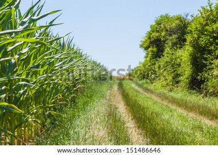 The agricultural landscape. The path along the cornfield. - stock photo