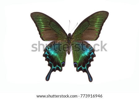 Alpine black swallowtail butterfly