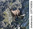 The Alpine ibex, (Capra ibex), is a species of wild goat that lives in the mountains - stock photo