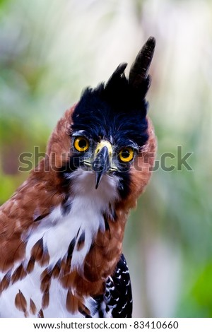 The amazing big yellow eyes of the ornate hawk eagle catch sight of the photographer deep in Amazon jungle. Peru. - stock photo